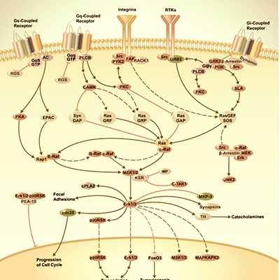 IL-1-Signaling-Pathway