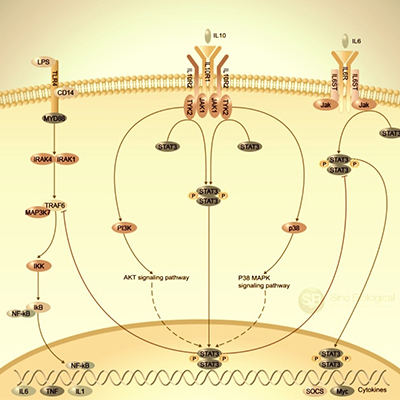IL-10-Signaling-Pathway