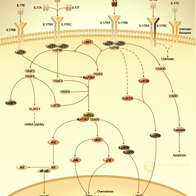 IL-17-Signaling-Pathway