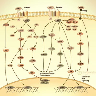 non-Canonical Wnt Signaling Pathway