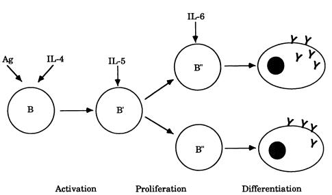 Prozess der B-Zell-Differenzierung durch Interleukin 6 Beteiligung